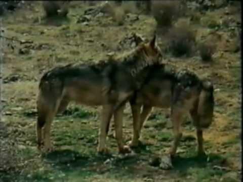 El lobo iphone