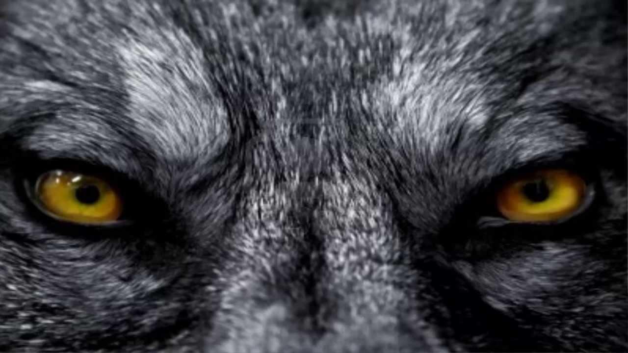 El lobo web–410912
